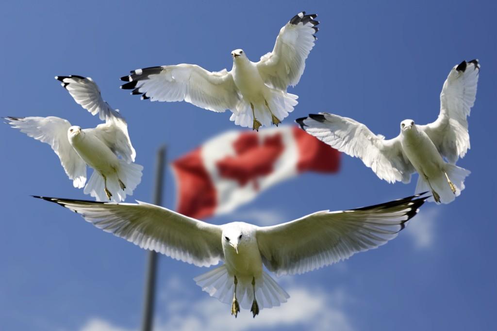 birds-blue-canada-45874